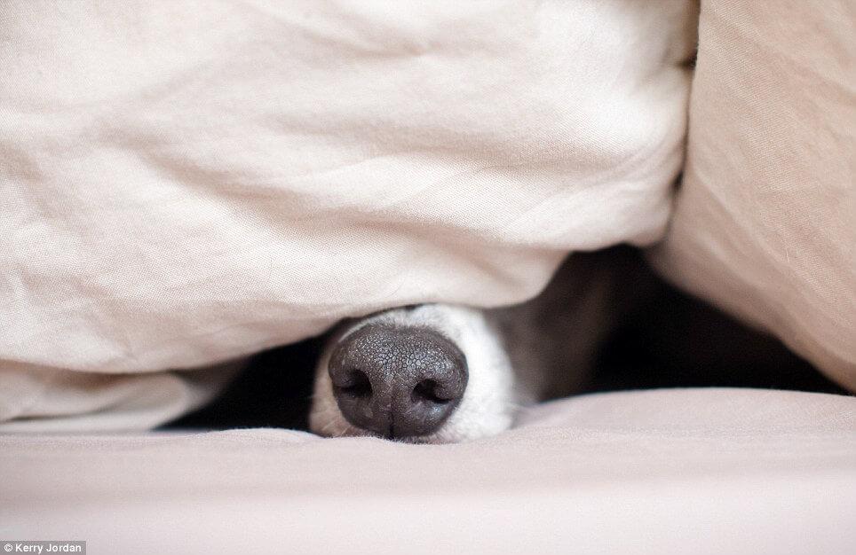 Dog hiding under a blanket