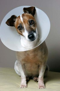 The dreaded lampshade newtown square veterinary hospital 3 fluffy and fido can absolutely walk eat sleep and otherwise function totally normally with an e collar on it is most essential that pets wear their mozeypictures Image collections