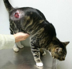 Cat with a wound