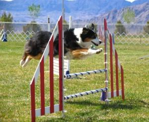 Dog on an agility course