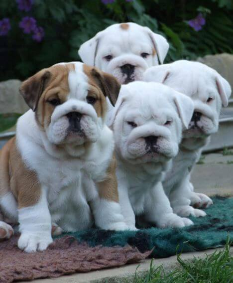 2 4 6 8 How Many Puppies Can You Appreciate Newtown Square