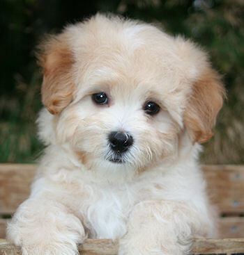 Are Maltipoo Dogs Good With Cats