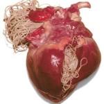 Heartworm