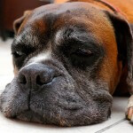 Senior dog sleeping