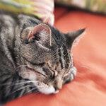 sleeping old cat