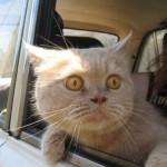 Cat in a car window