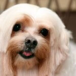 Tear stained Maltese