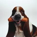 Dog eating hot dog