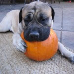 dog-with-pumpkin2