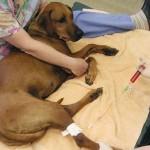 Dog chemo