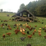 Chickens- Polyface Farms