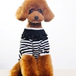 Poodle in clothes