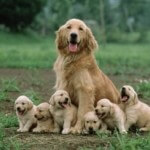 Golden with puppies