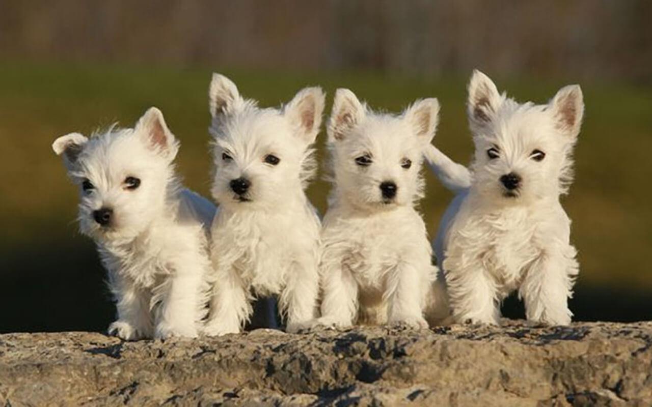 Buy Westie Puppies In Maine USA