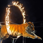 circus-tiger-through-fire-hoop