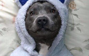 Cute pit bull
