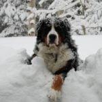 Bernese Mountain dog in deep snow