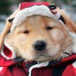 Golden retriever puppy in a winter coat